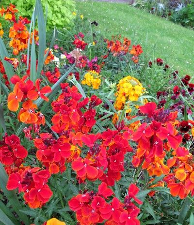 how to grow wallflowers from seed