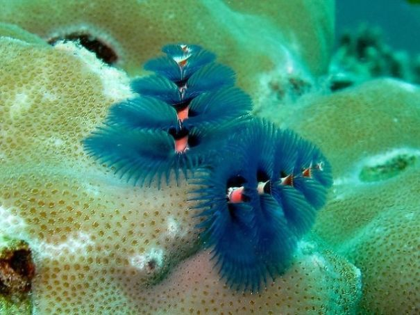 Too Cool Marine Worms Look Like Christmas Trees Bored panda and Panda