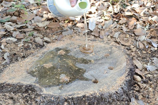 How To Mix Epsom Salt To Kill Stumps Tree Root Removal Tree Roots