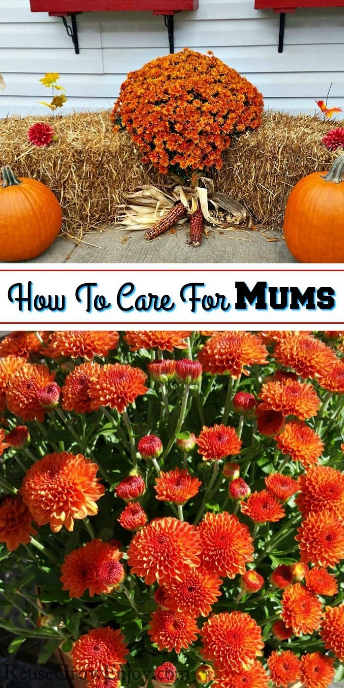 Adding some fall color to your home by adding some mums If you are not sure how to care for mums or select them this post is full of info you will find helpful