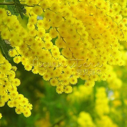 Golden mimosa acacia baileyana yellow acacia baileyana 40 golden mimosa seeds beautiful acacia baileyana yellow wattle tree flower seeds evergreen bonsai blooms all year round mightylinksfo