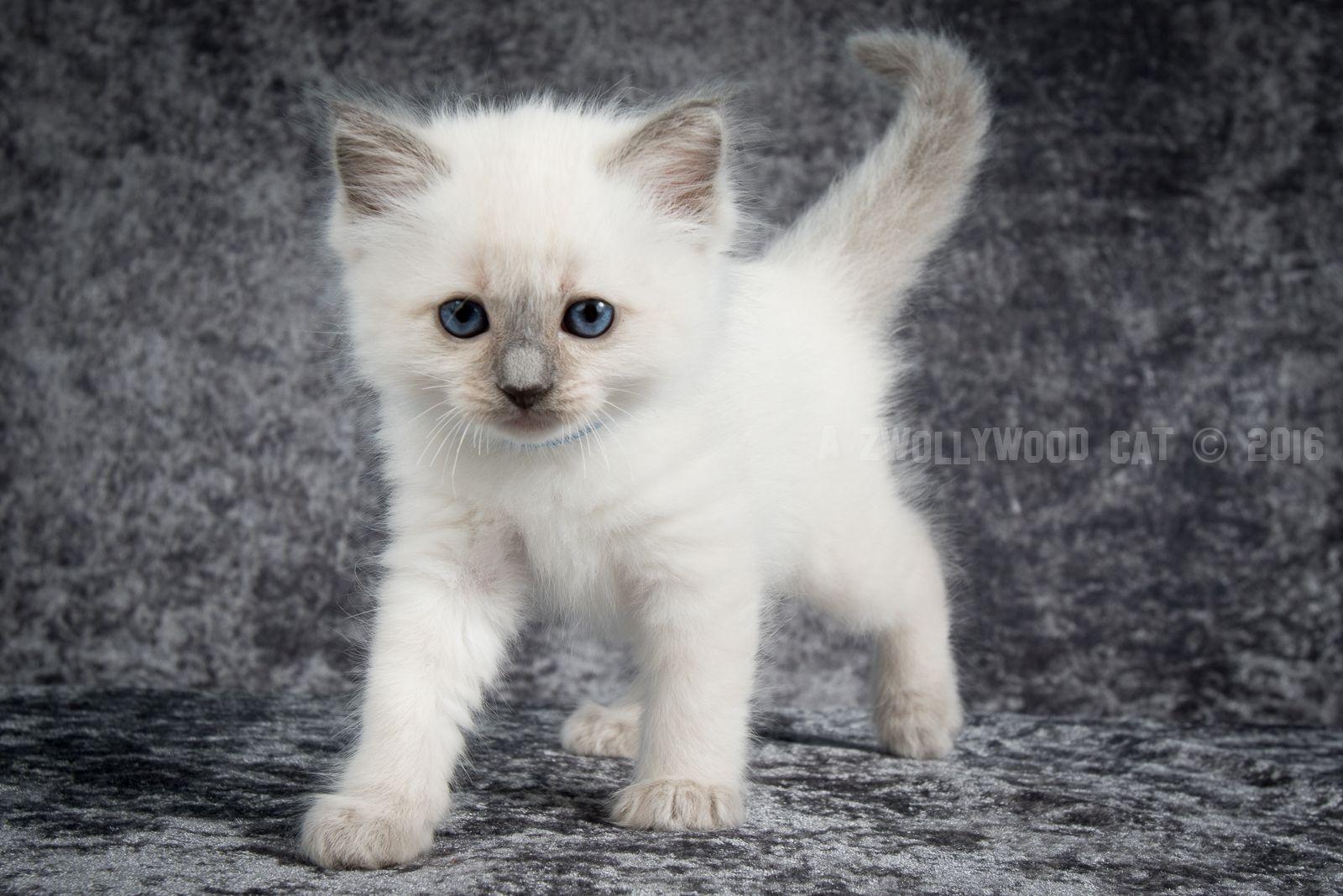 2016 Varden A Zwollywood Cat 6 Weeks Old Ragdoll Kitten Blue