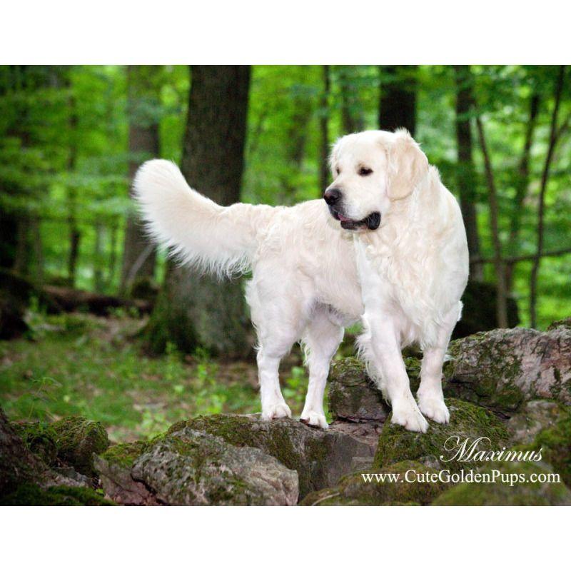 Maximus English Cream Retriever White Golden Retriever Puppy