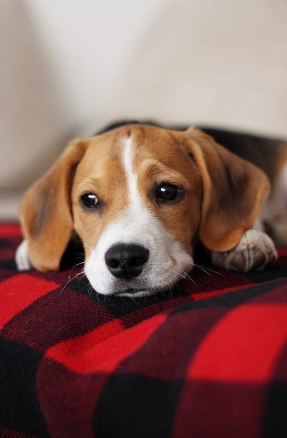 Puppy Beagle Puppy Beagle Beagle Dog