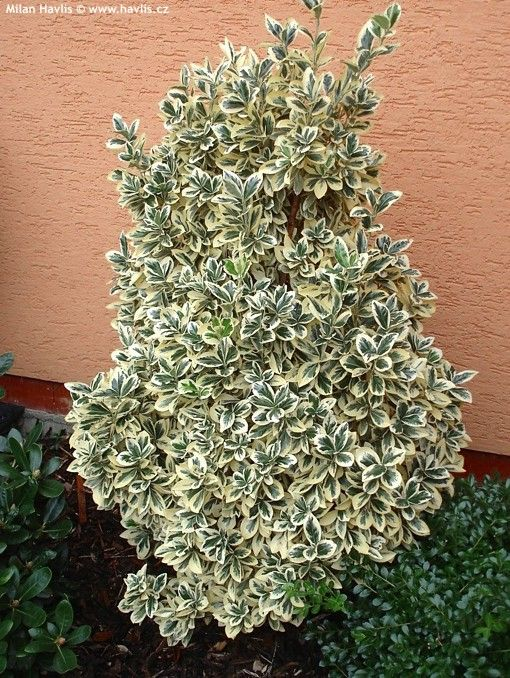 Evonimo Sempreverde Euonymus Japonicus Bravo Flowers How To Dry Basil Garden
