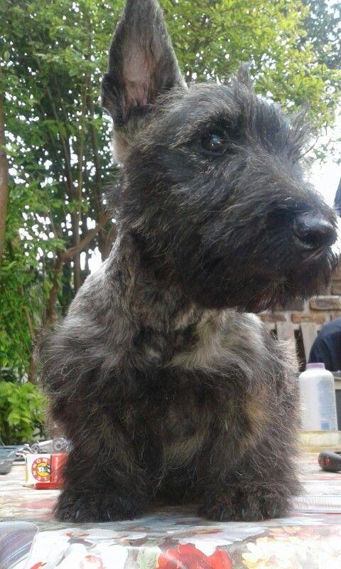 Brindle Scottish Terrier Puppy Scottish Terrier Puppy Scottie Dog Scottish Terrier
