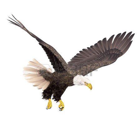 aguila: Águila calva aislada en el fondo blanco. Ilustración del ...