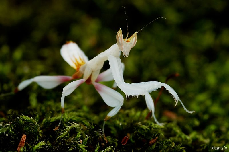 36.Hymenopus coronatus by Bullter on DeviantArt