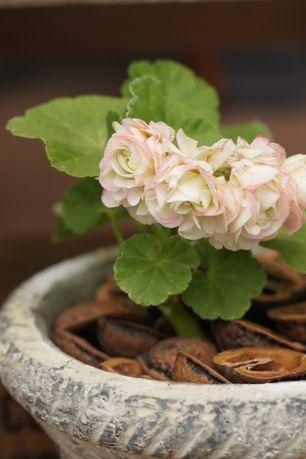 "Pelargonium hybrids, ""Candy Ball"" in kurukara (walnut-shell mulching).  ゼラニウムと鉢、くるカラの色の組み合わせが完璧です。"