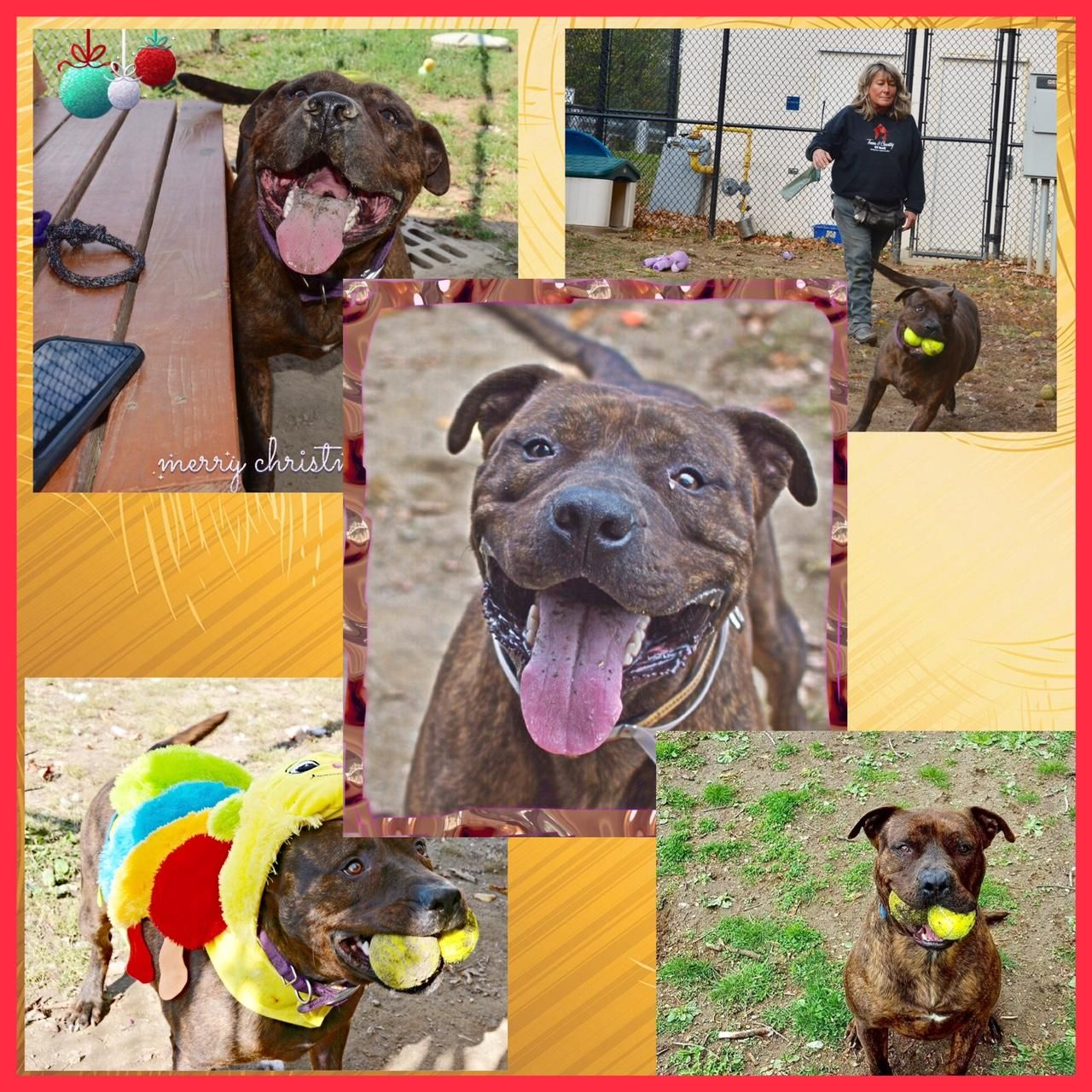 Adopt Cola on Terrier mix dogs, Pet adoption, Terrier dogs