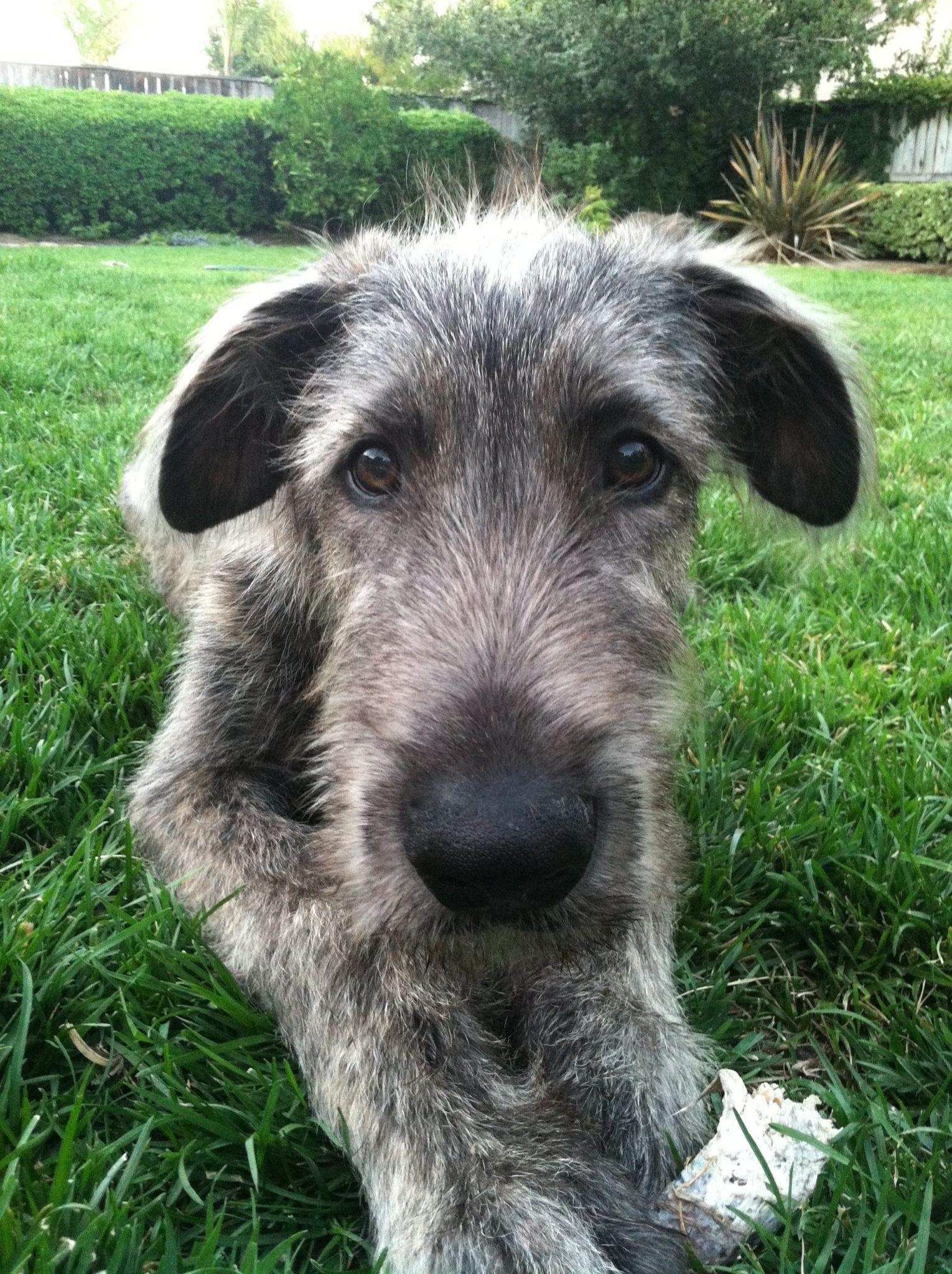 My Jack Irish Wolfhound 16 Weeks Irish Dog Irish Wolfhound Cute Cats And Dogs