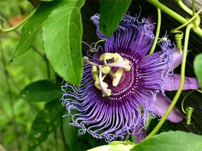 Purple Passionflower In The South Known As A Maypop My Mom Used To Tell Me They Were Little Balle Bloom Where Youre Planted Passion Flower Virtual Flowers