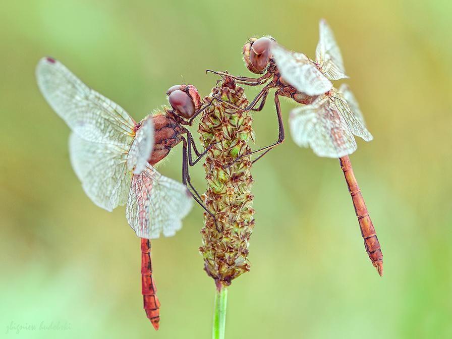 ¤ Dragonflies ¤ -