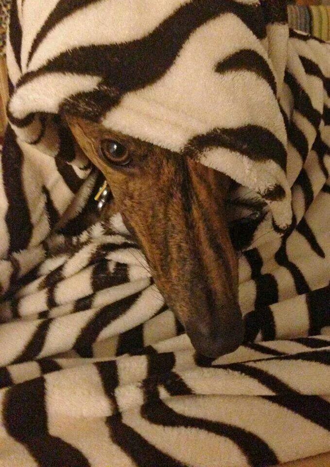 Just another Monday! #galtx #greyhounds