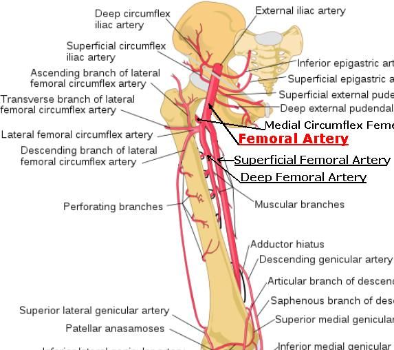 Superficial Femoral Artery Google Search Anatomy Pinterest