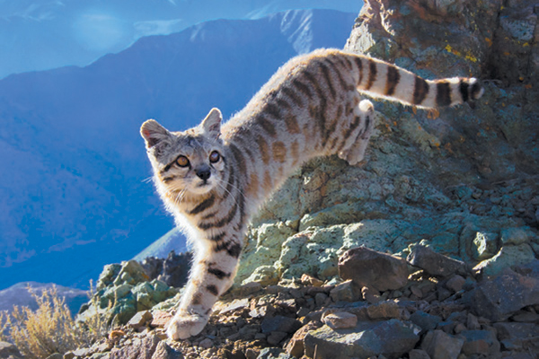 All About Rare and Reclusive Andean Cats Small wild cats