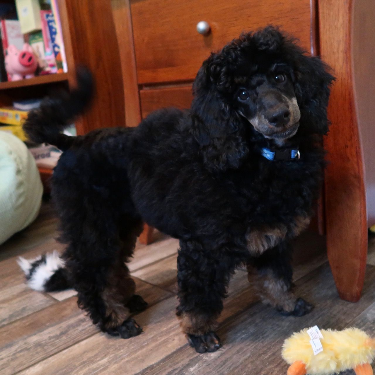 f7674d11481 Fritz is our imported phantom klein poodle male. He will produce both  phantom and solid black poodle puppies with our females. He comes from the  top German ...