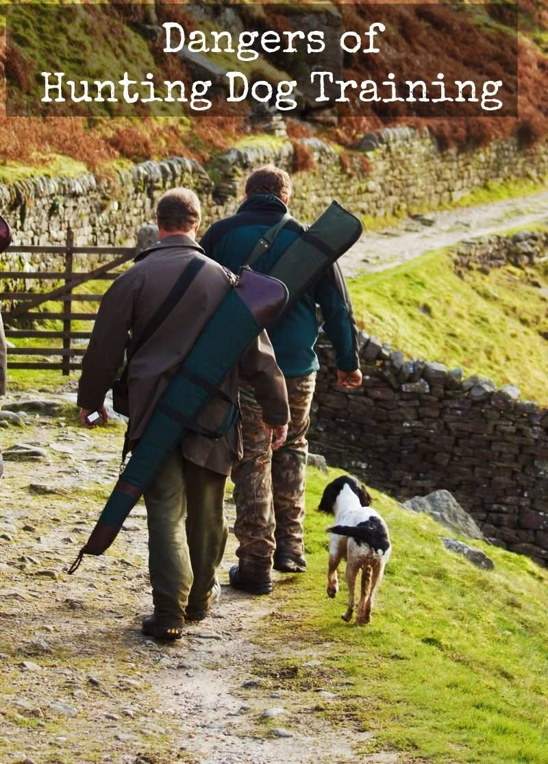 Five Hidden Dangers During Hunting Dog Training Hunting Dogs