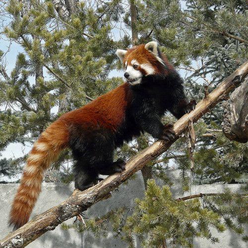 Un red Panda, que animal más raro y más bonito