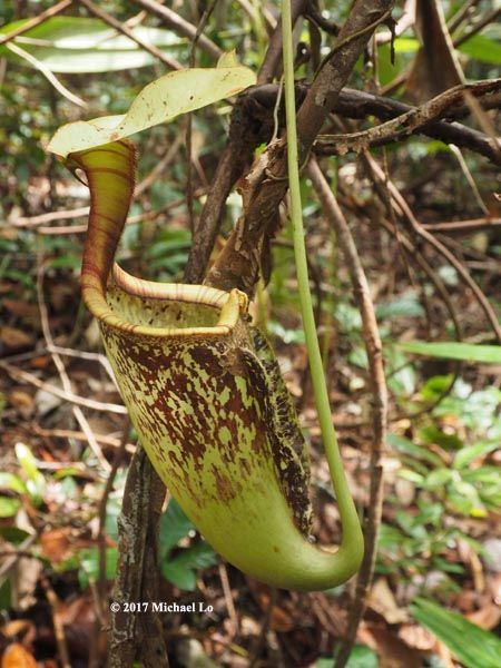 Asian nepenthes pitcher plant