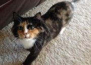 Lost Female Longhair Calico Lost in Sterling Ridge, The Woodlands, a female spayed long-hair Calico cat.