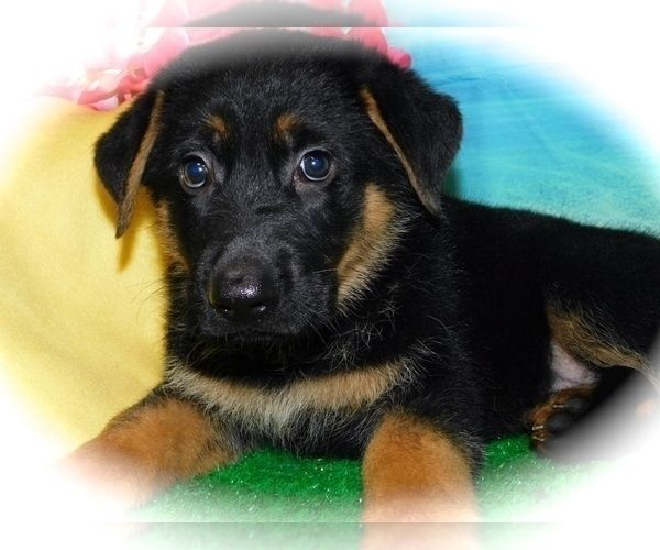 German Shepherd Dog Puppy For Sale In Hammond Indiana Usa Adn