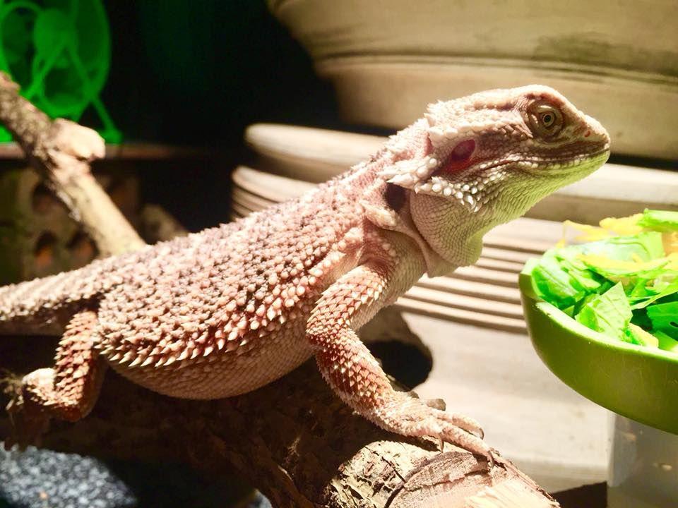 Bearded dragon eating greens trong 2020