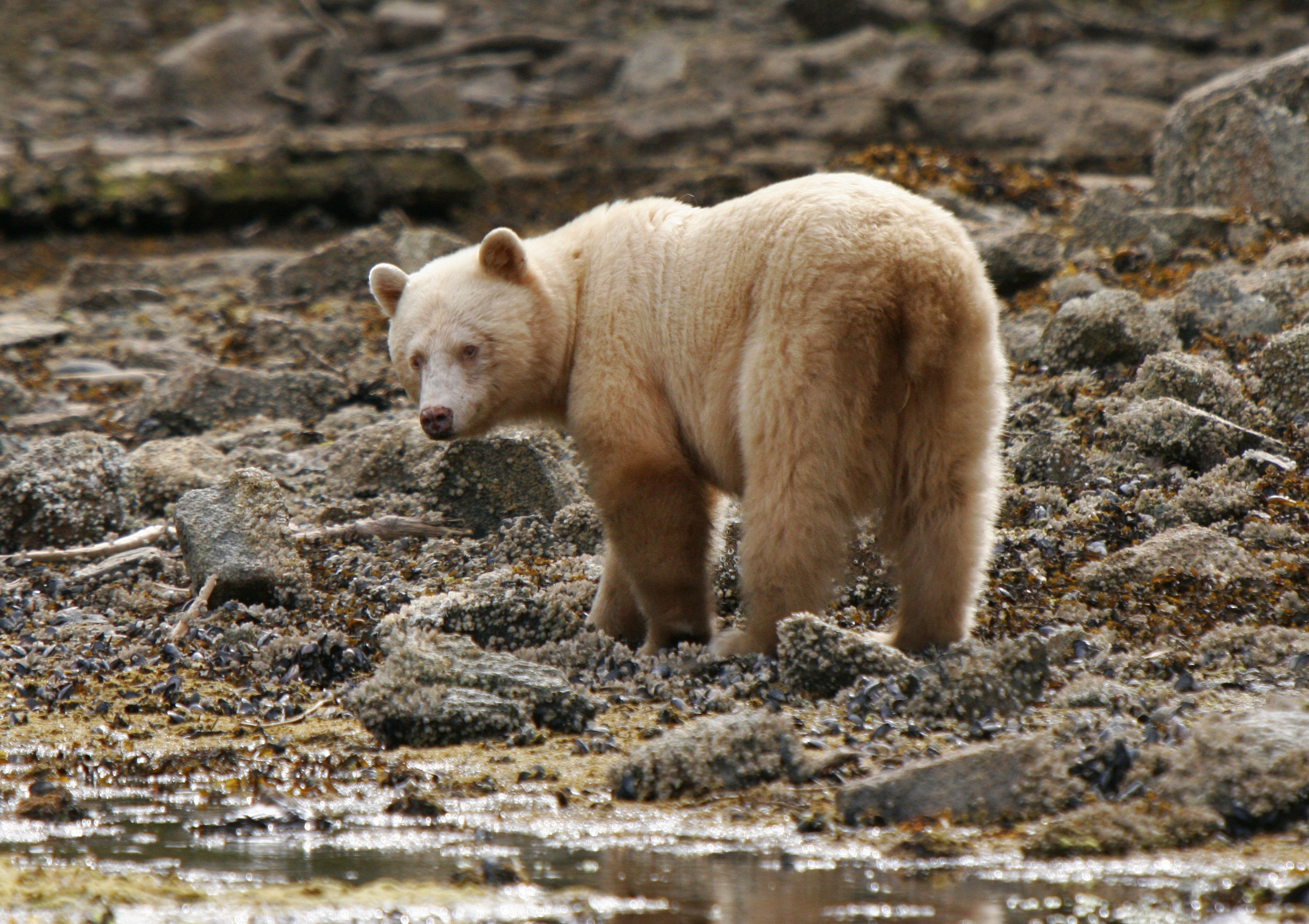 Spirit Bear Kermode In The Great Bear Rainforest Near