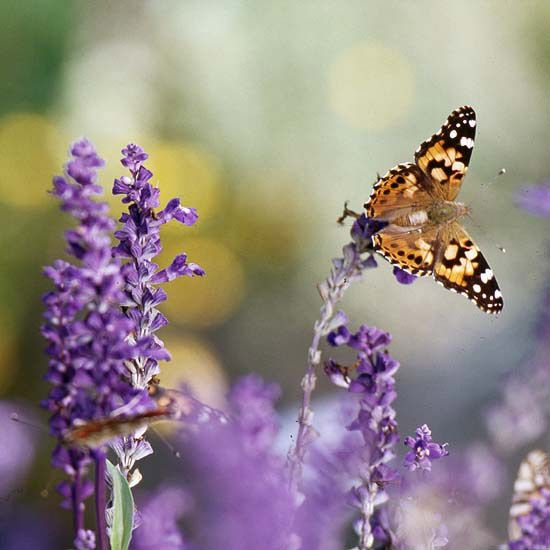 Top Plants For A Butterfly Garden: good article and pictures from Better Homes and Gardens