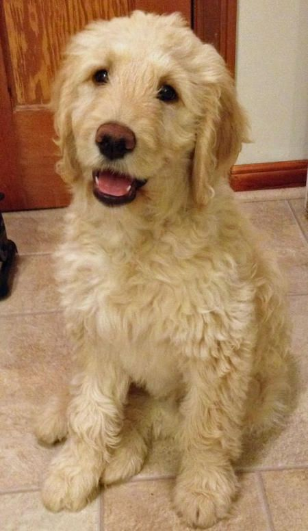 What Is The Best Dog Food For My Goldendoodle