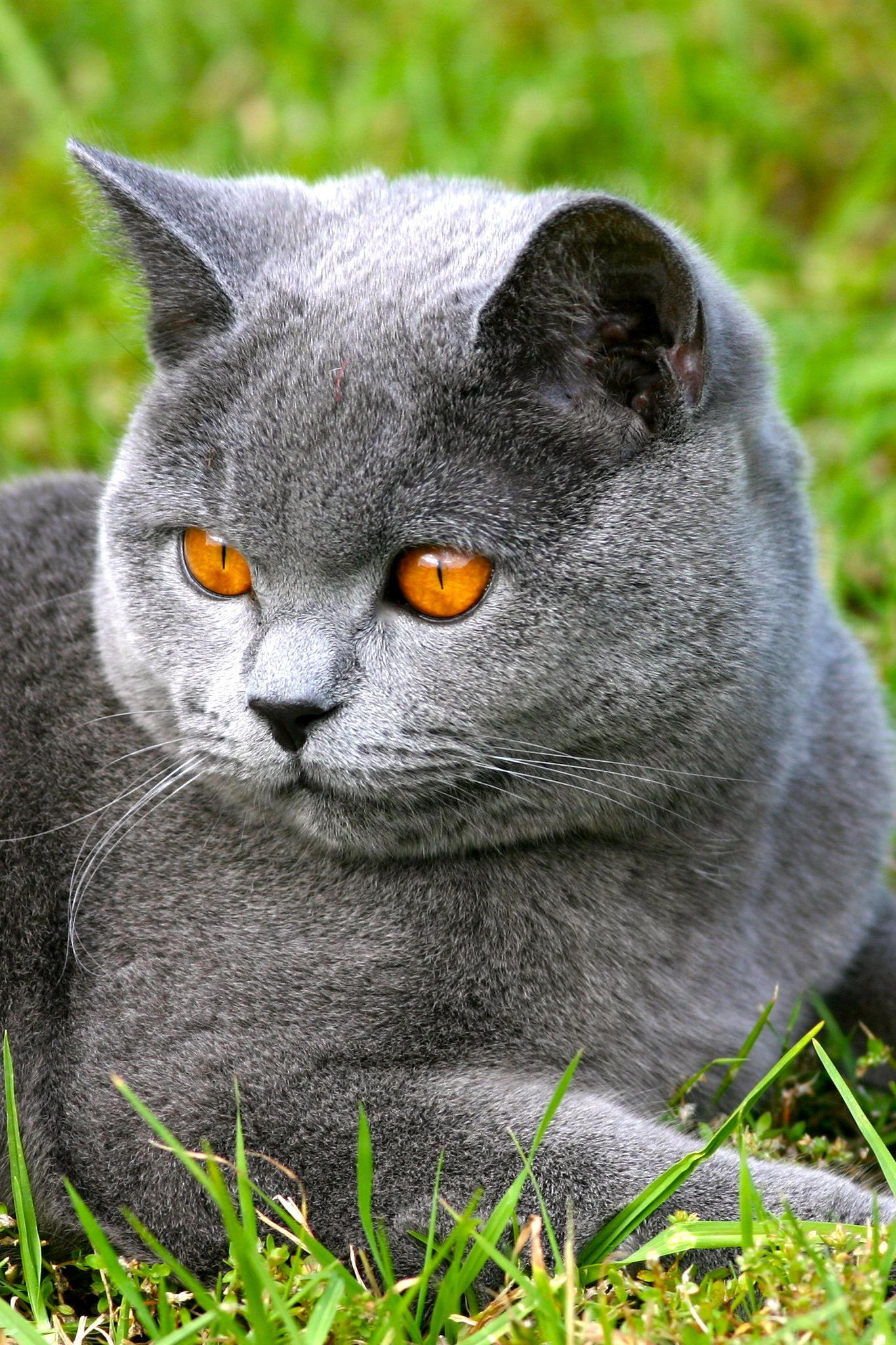 Teddy Blue British Shorthair By Richard Ainsworth British Snorkeling Outdoors Scuba Diving Diving Cave D In 2020 Cats And Kittens British Shorthair Kittens Cute Cats