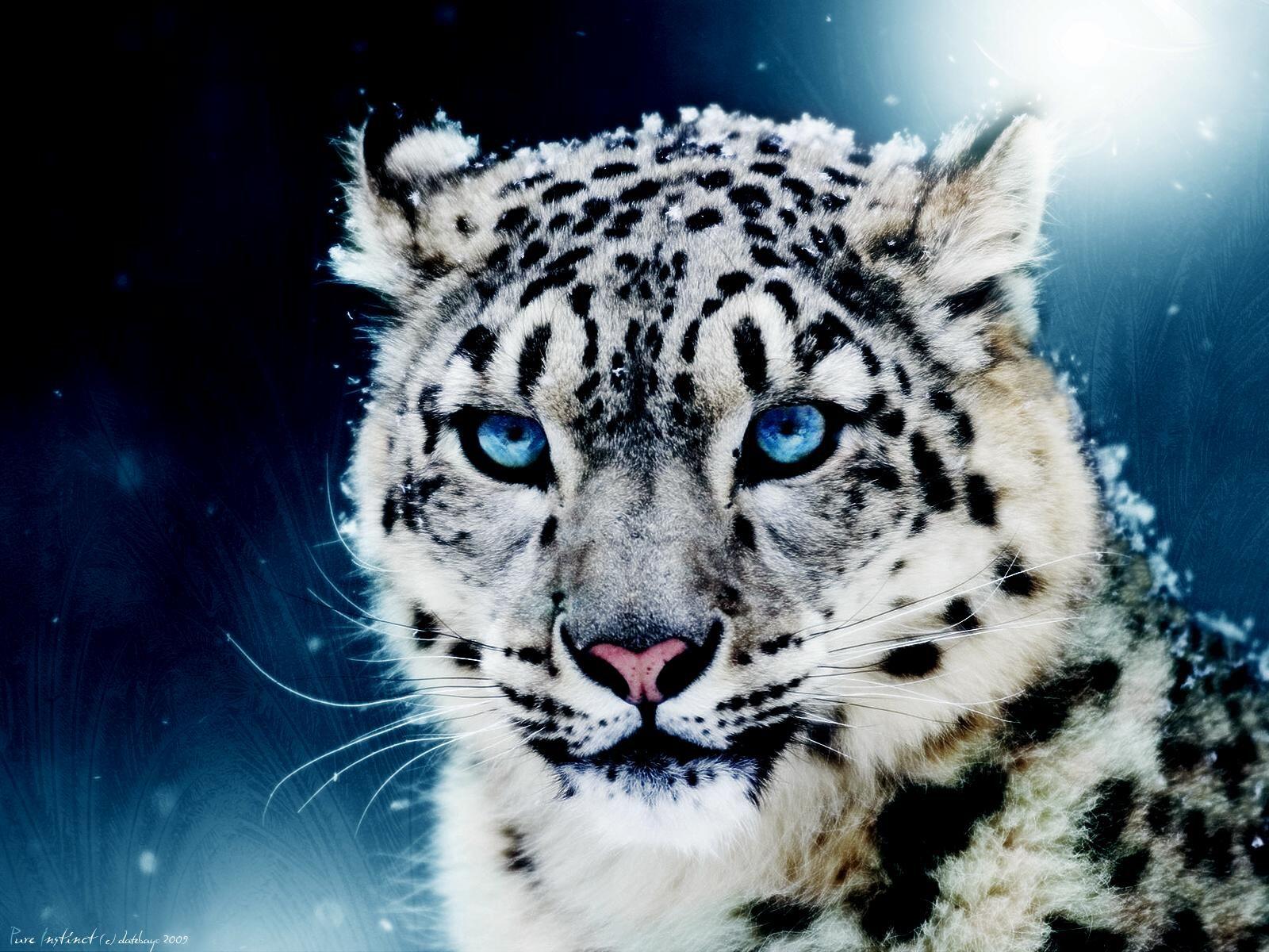 Afficher l 39 image d 39 origine projets essayer pinterest l opard des neiges panth re des - Photo de tigre blanc a imprimer ...