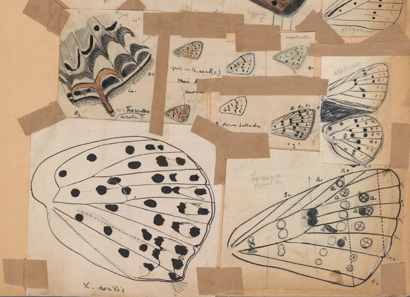 Fine Line Art : Vladimir nabokov's scientific butterfly illustrations