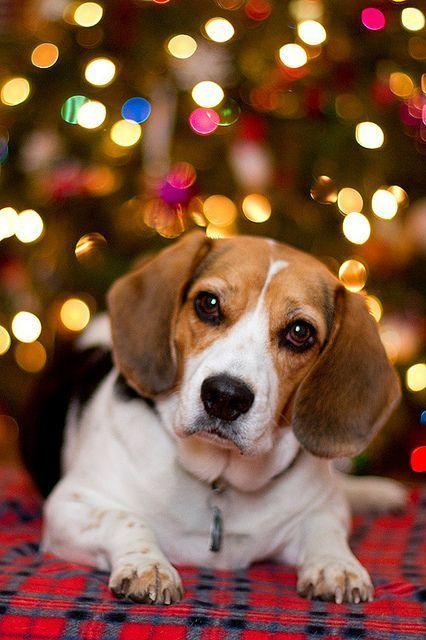 christmas beagle beagle dog art portraits photographs information and just plain fun also see how artist kline draws his dog art from onl - Christmas Beagle
