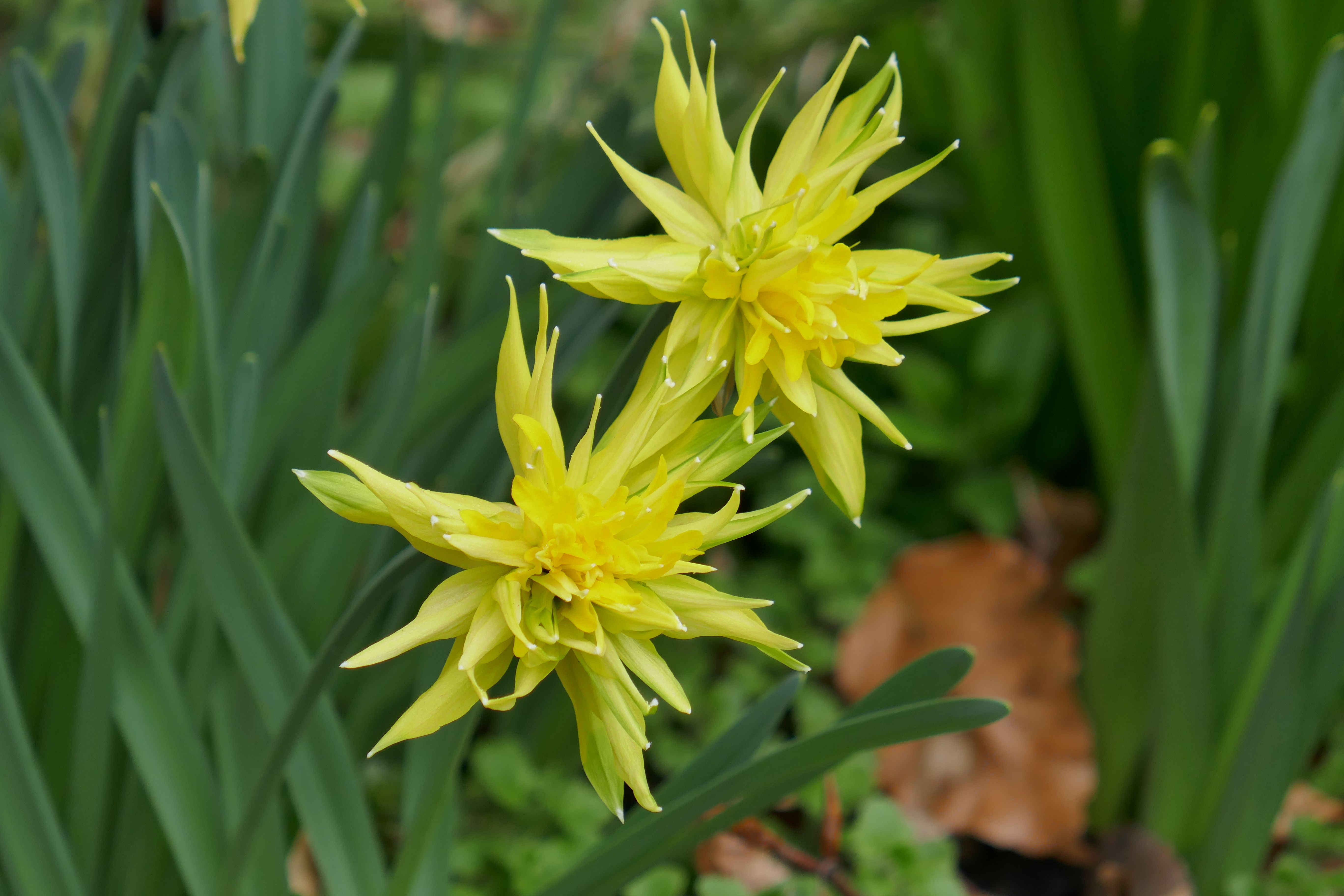 narcissus rip van winkle dwarf daffodil early to flower planting