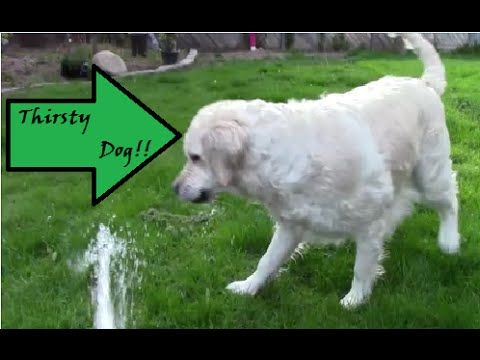 Thristy Dog