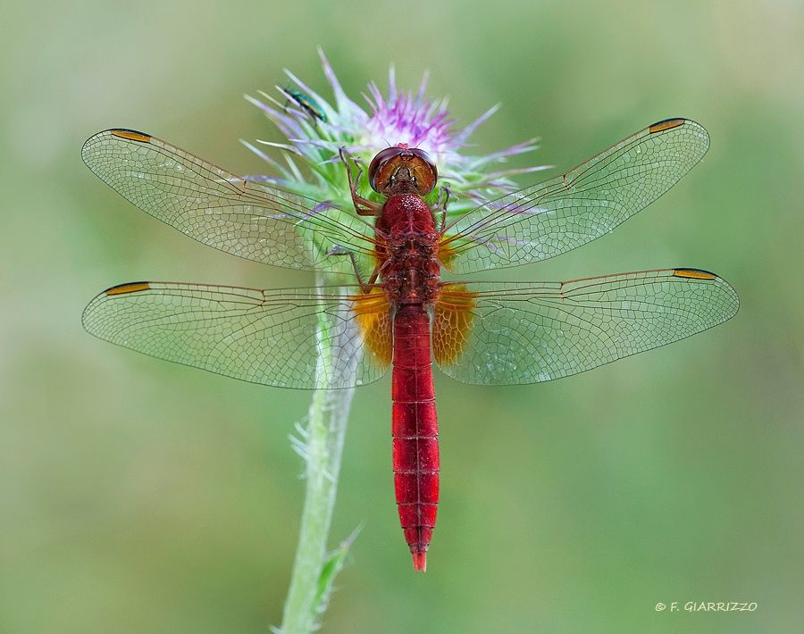 Red dragonfly - An image of a red dragonfly (it should be a male of Crocothemis erythraea) resting on a thistle- Thanks for looking, Fabio