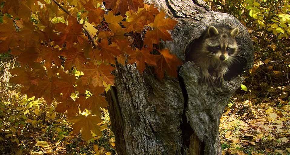 Bing Fall Wallpaper Bing Wallpaper Archive Cute Raccoon Raccoon Cute Creatures
