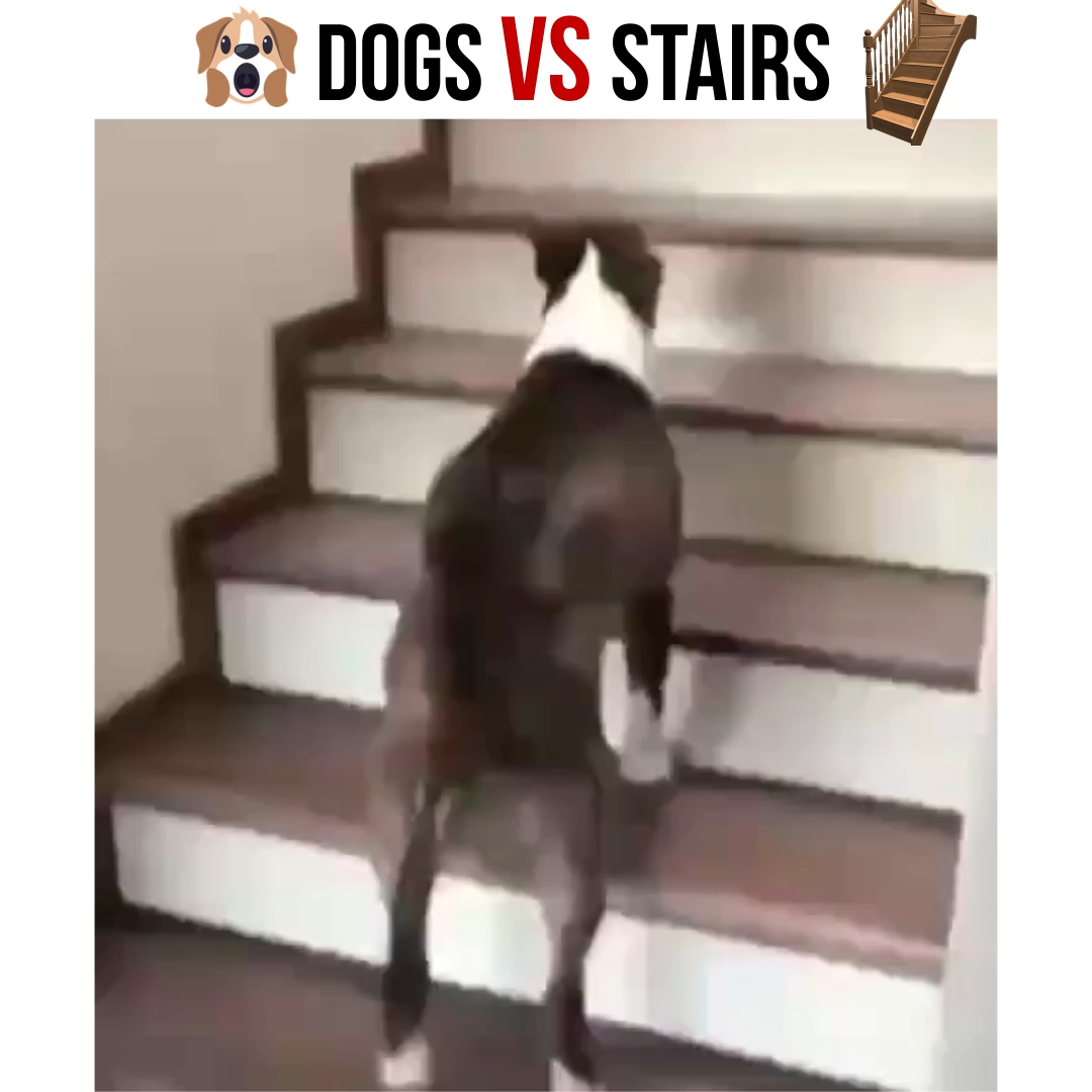 How does your dog handle stairs?