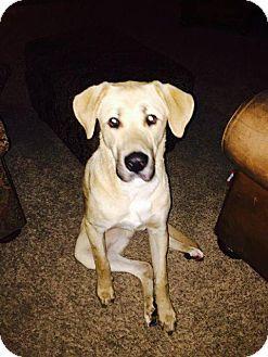 Chaska Mn Golden Retriever Great Dane Mix Meet Brutus A Dog