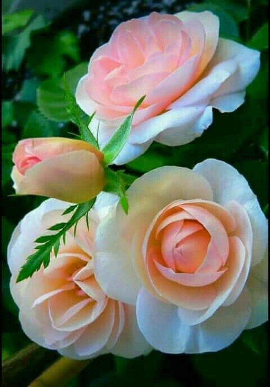 Disneyland rose   Beautiful Roses   Pinterest   Rose, Flowers and ...