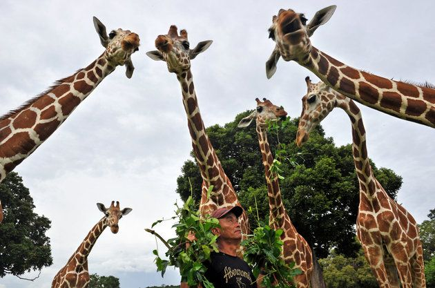 DNA Surprise! Giraffes Are Actually Four Species, Not One