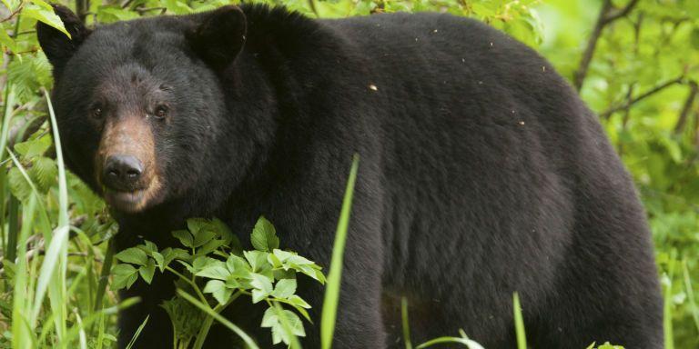 Black Bears In Alaska Have Killed Two People In Two Days Black Bear Bear Bear Hunting