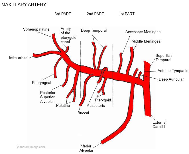 Maxillary Artery Diagram Cow Enthusiast Wiring Diagrams