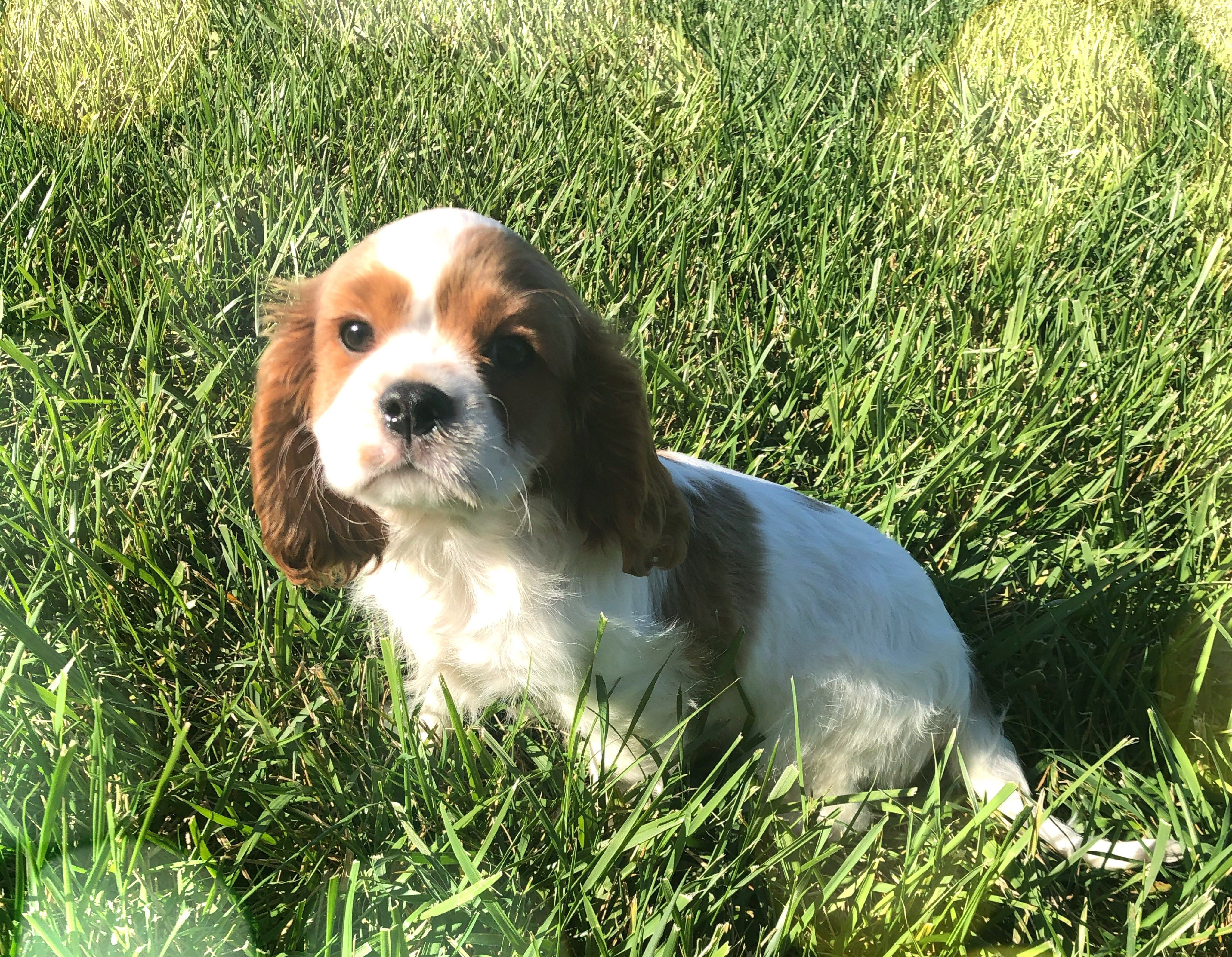 Puppies For Sale In Kansas City Area Ideas