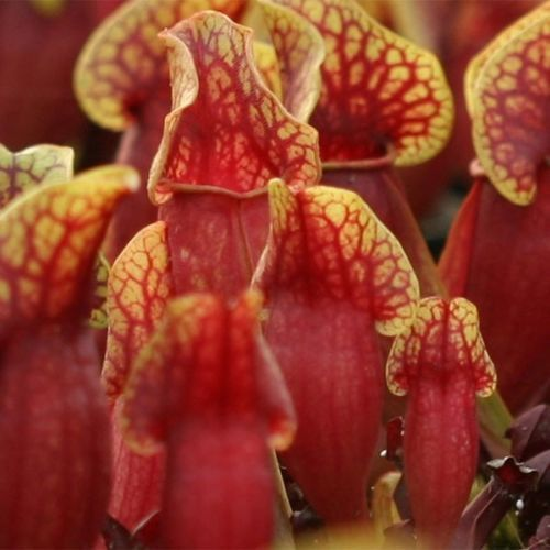 Purple Pitcher Plant (10 Seeds). I bought mine at Driftwood gardens and have them displayed at the end of a path in a wonderful french planter bowl.