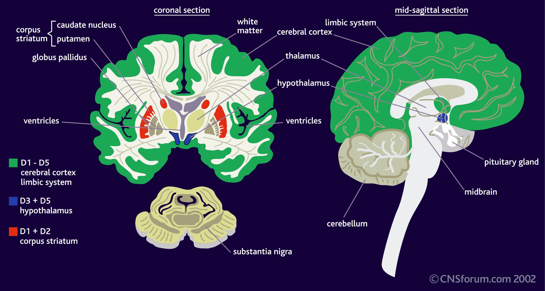 Schizophrenia Brain Vs Normal Brain | www.galleryhip.com - The Hippest ...