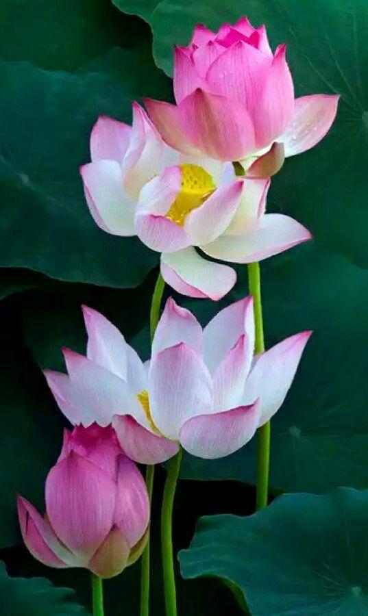 Pink lotus water lily pinterest lotus flowers and gardens africa lotus flower pink lotus mightylinksfo