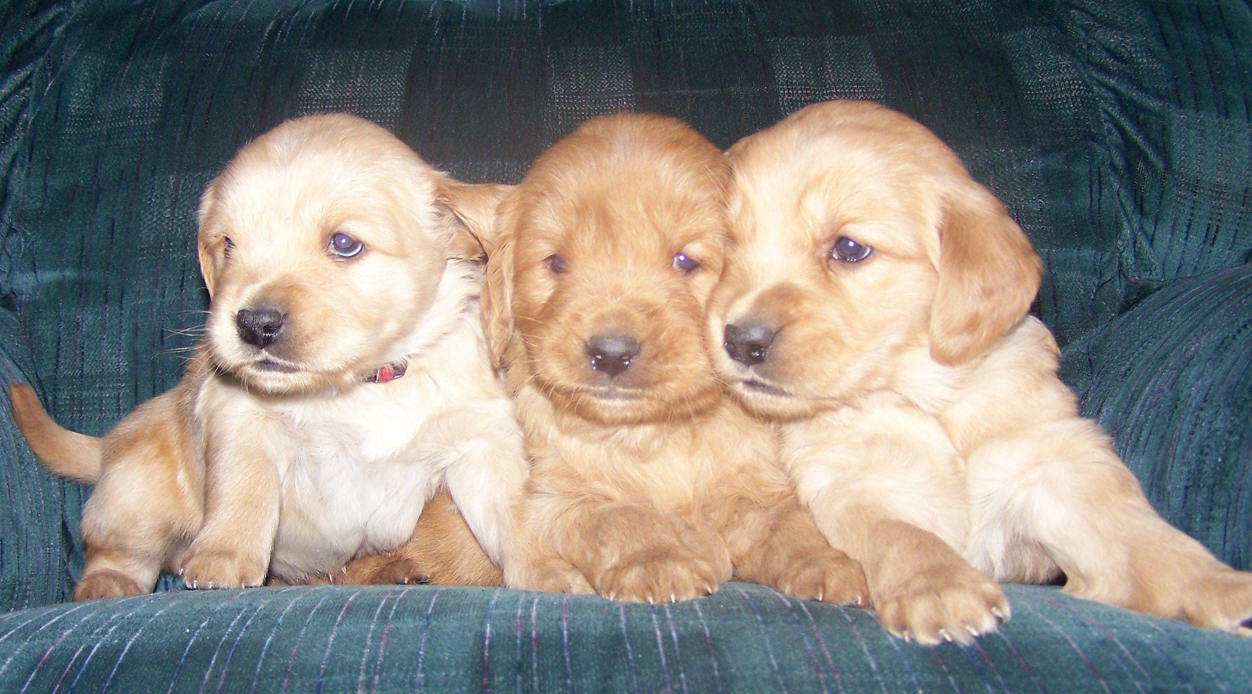 Golden Retriever Puppies Retriever puppy, Golden