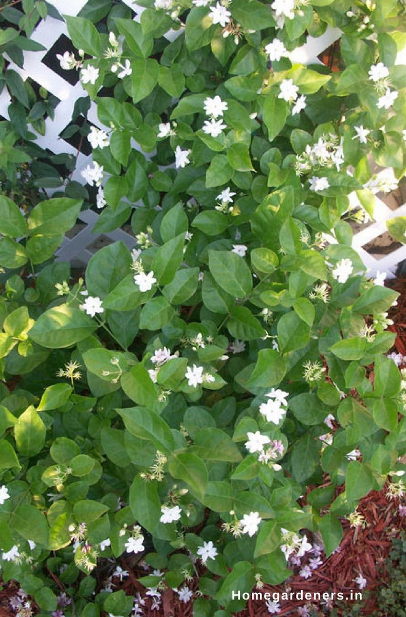 How to grow and care for jasmine plant gardening ideas pinterest est time to plant to jasmine cuttings is early spring or summer season the best temperature to grow jasmine plant is 70f gardening gardeningtips izmirmasajfo